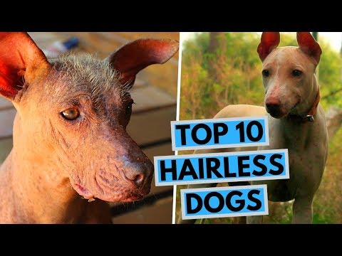 TOP 10 Hairless Dog Breeds - The Ancient Breeds With Unique Appearance