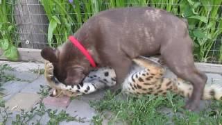 сервал и французский бульдог играют)
