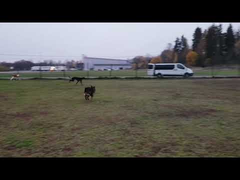 Greyhound and Ibizan Hound running