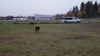 Greyhound and Ibizan Hound running