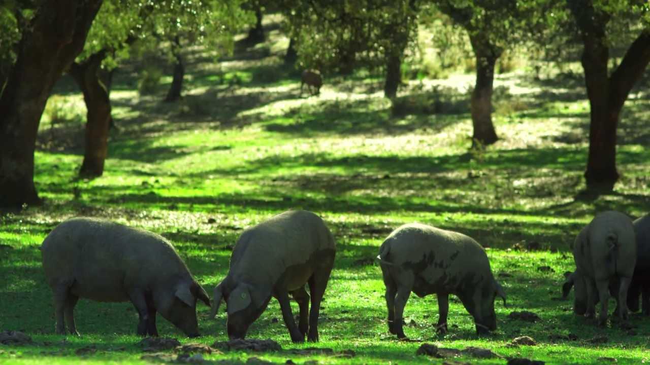 Download Ibérique élevage porcin.