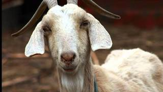 """Aesop's """"Goat and Goatherd"""""""