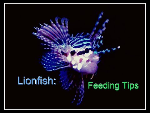 Lionfish: Feeding Tips