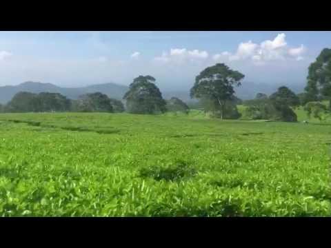 Rin's Getaway - Tea Plantation at Gunung Gare, Pagaralam, South Sumatra, Indonesia