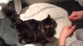 Кошки чистят зубы