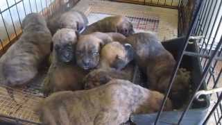 Colorado Akc Boxers- 18 Day Old Pups Eating Puppy Feed. Mavi's Litter