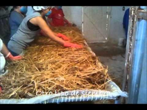 Curso teorico practico para producci n de hongo seta youtube - Como cocinar las setas ...
