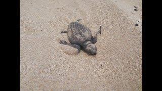 Рождение черепашек. Birth of turtles.