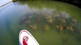 Snagging Cownose Rays From A Paddleboard