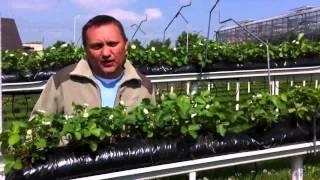 Dlaczego uprawiać truskawki na rynnach?