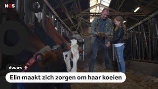 Dwars: Koeien kunnen doodgaan door afval