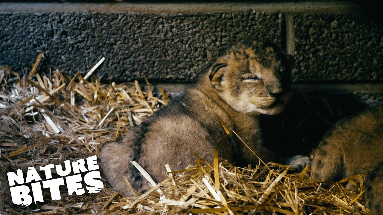 Download ADORABLE Lion Cubs Meet Their Dad for the First Time!   Fota: Into the Wild