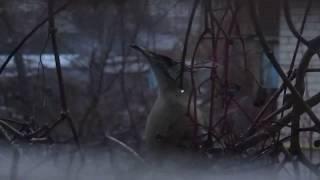 Костогрыз - птица такая (почти хоррор) прилетела в гости из леса