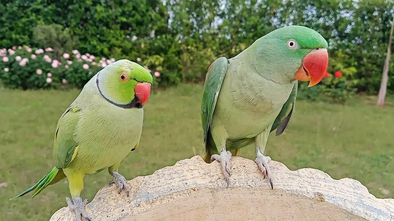 Alexandrine and Indian Ringneck Parrot Natural Sounds