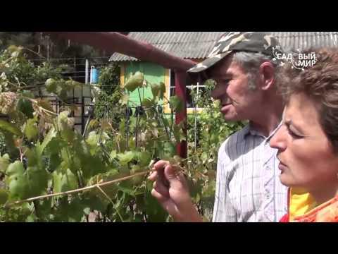 Вредители винограда |  Уход за виноградом | Обработка винограда| #edblack