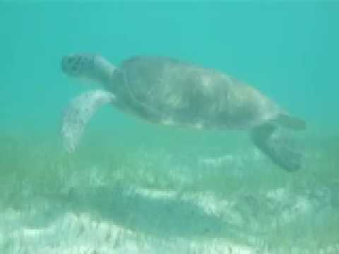Green Turtle grazing on seagrass