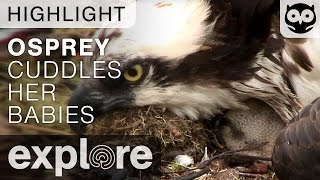 Osprey Mother Cuddles Her Babies - Live Camera Highlight thumbnail