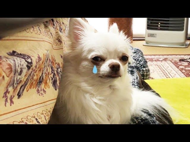 ママが出かけて、寂しそうな表情の犬