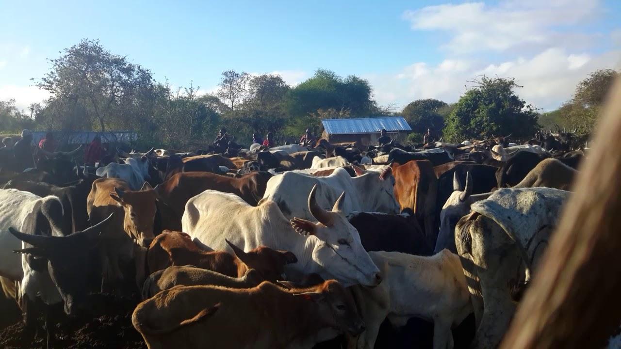 A Maasai cow blessing