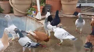 Filo Güvercinleri 3