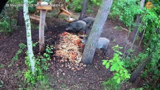Kolejna poranna wizyta dzików w karmisku w lesie na Podkarpaciu