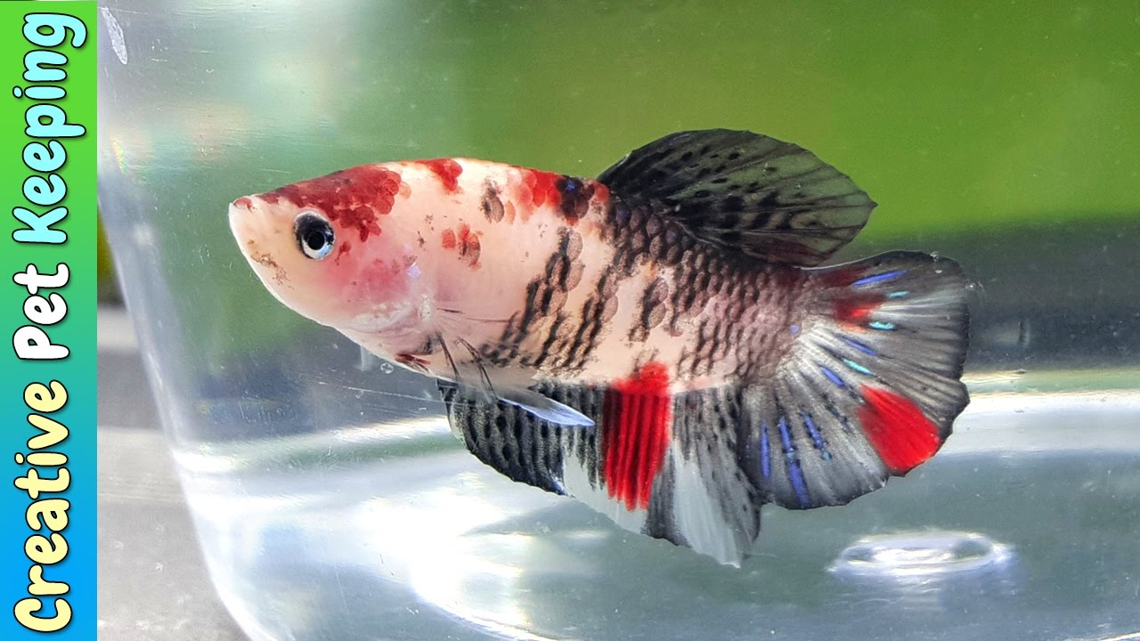 New fancy red koi betta fighting fish pair vlog youtube for Why do betta fish fight