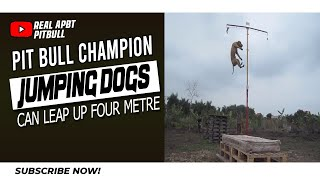 Pit Bull Champion Jumping Dogs - Can Leap Up Four Metre Walls
