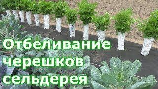 видео Сельдерей - выращивание листового, корневого и черешкового сельдерея