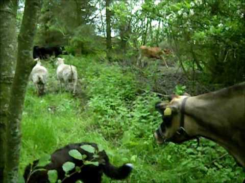 Forest grazing - mob grazing small scale