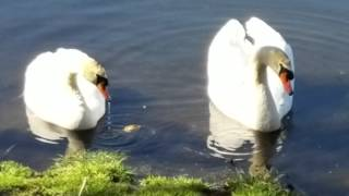 Feeding swans at pond with my fiance Jonathan 😚
