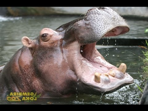 KUDA NIL - Gembira Loka Zoo - HIPPOPOTAMUS [HD]