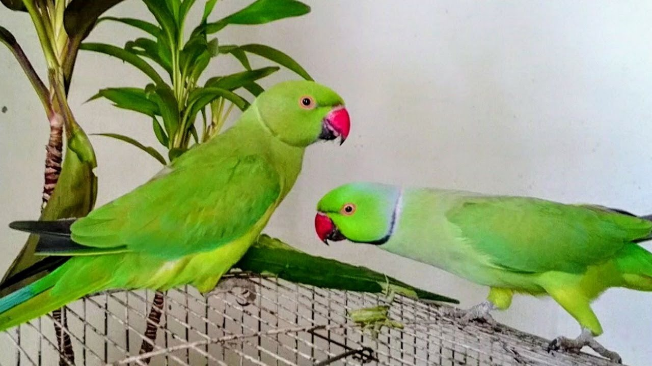 how to take care of indian ringneck parrot