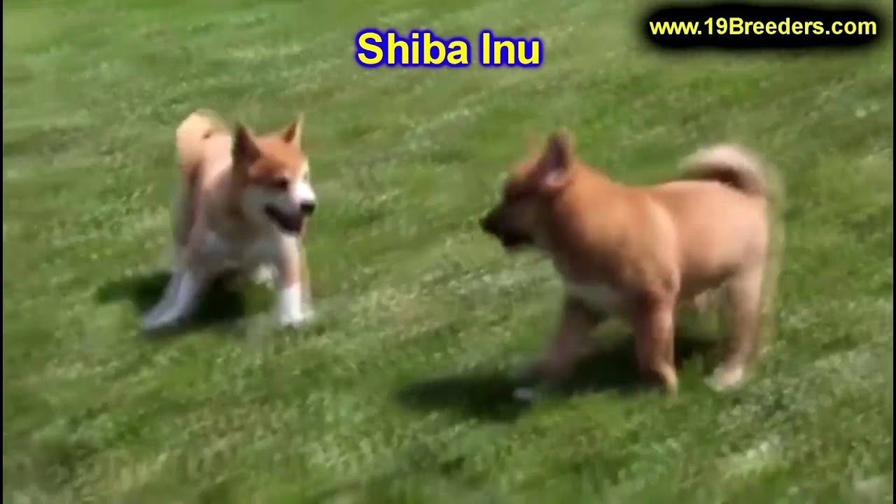 puppies for sale in columbia sc shiba inu puppies dogs for sale in columbia south 6059