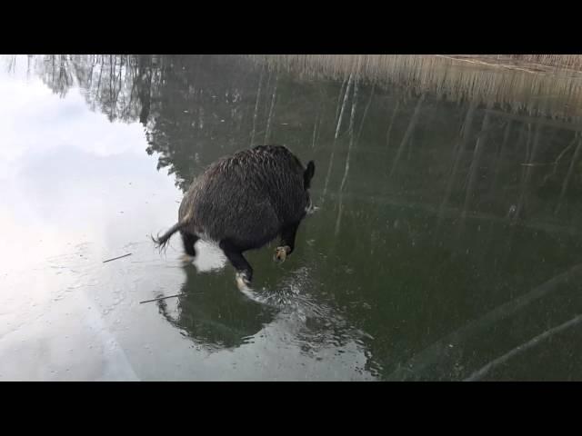 Vildsvin på isen (boar on ice)
