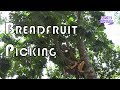 BREADFRUIT PICKING // JAMAICA // OCHO RIOS + WHAT I EAT IN A DAY (VEGAN)