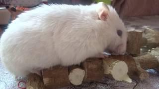 Игрушка-погрызушка для хомяка.  КАК СДЕЛАТЬ ИГРУШКУ-ПОГРЫЗУШКУ ДЛЯ ХОМЯКА, КРЫСЫ. Toys for hamsters