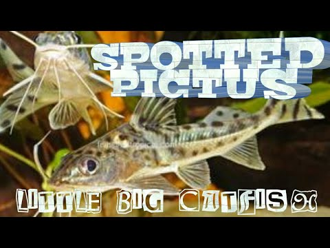 SPOTTED PIM / PIMELODIDAE PICTUS CATFISH