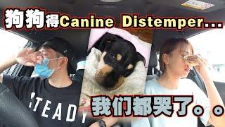 确诊狗瘟症...医生说没有药医...我们都哭了...给爱狗人士的讯息!