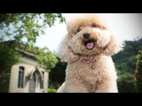 Funny Poodles 🐩 Cute Fluffy Poodles  [Funny Pets]