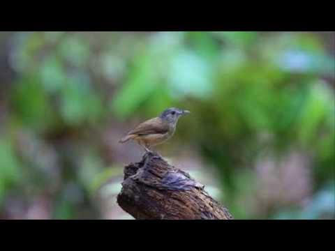 Download Ajib Pelanduk Semak Gacor Dalam Sangkar Video dan Lagu MP3 ... 7d4a24a2c1