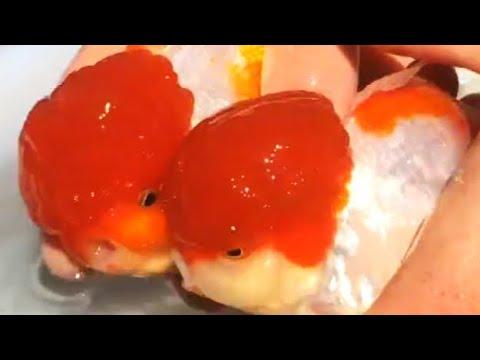 Handspawning  Goldfish (oranda)