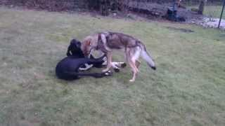 Great Dane and Czechoslovakian Wolfdog playing
