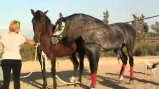 Girl helps the horse mating