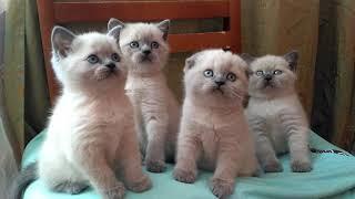 Клубные шотландские котята а33 продажа