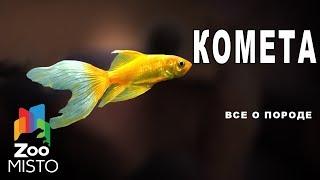 Комета - Все о породе рыбы | Рыба породы комета