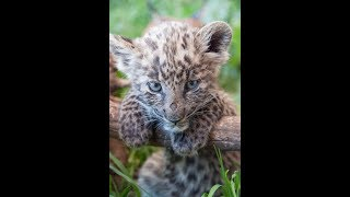 Grooming Sleeping African Black & Spotted Baby Leopard Cubs   Big Cats - Tiny cub