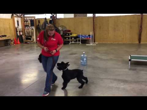 """Giant Schnauzer Training Obedience """"Yanis"""" 6 months Old Dog For Sale"""