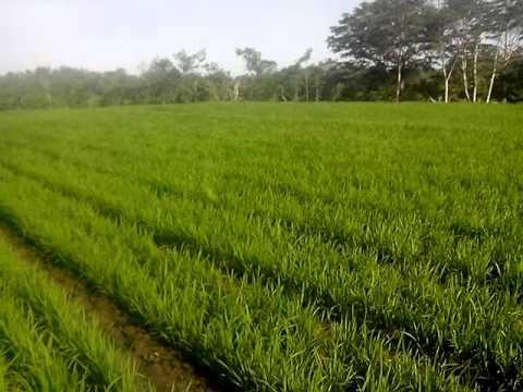Pemandangan Suara angin di sawah padi