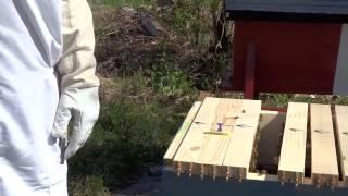 Horizontal Top Bar Hive Inspection-aaf (may 16, 2015)