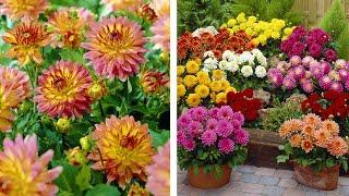 How to plant dwarf Gallery Dahlias: Jeff Turner plants dwarf patio gallery dahlias